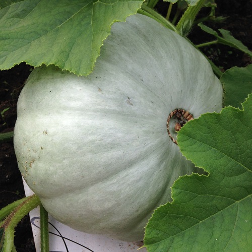 Winter Squash Crown Prince