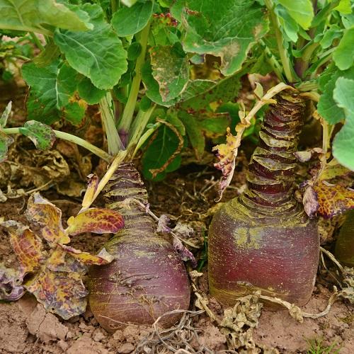 Swede Gowrie Seeds Vegetable Seeds400 Seeds