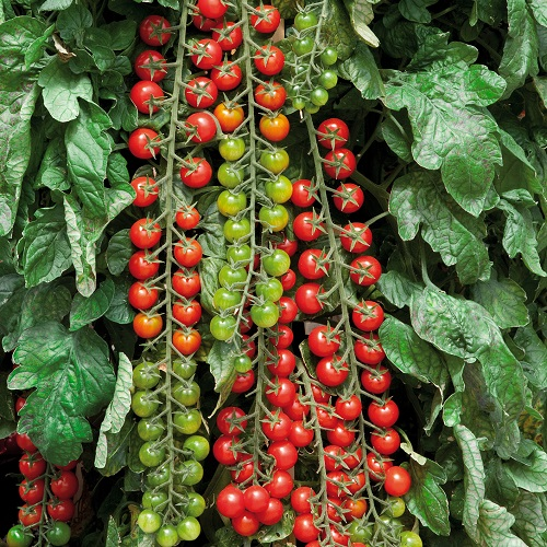 10 Ways To Style Your Very Own Vegetable Garden: Buy Rapunzel Cherry Tomato Seeds UK