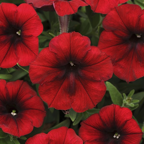 Trailing Petunia Seeds - Red Velour