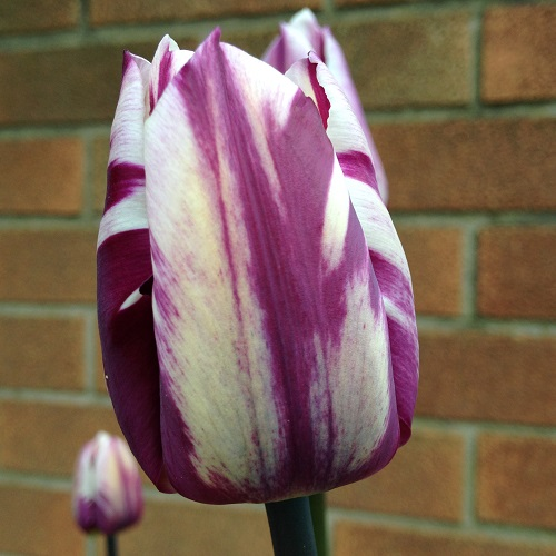 Tulip Bulbs - Blueberry Ripple