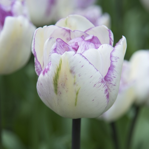 Tulip Bulbs - Shirley