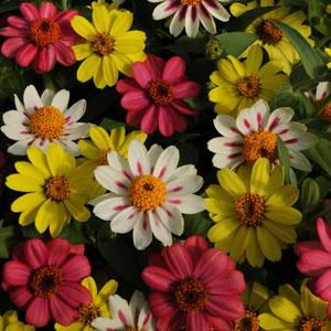 Zinnia Seeds - Raspberry Lemonade